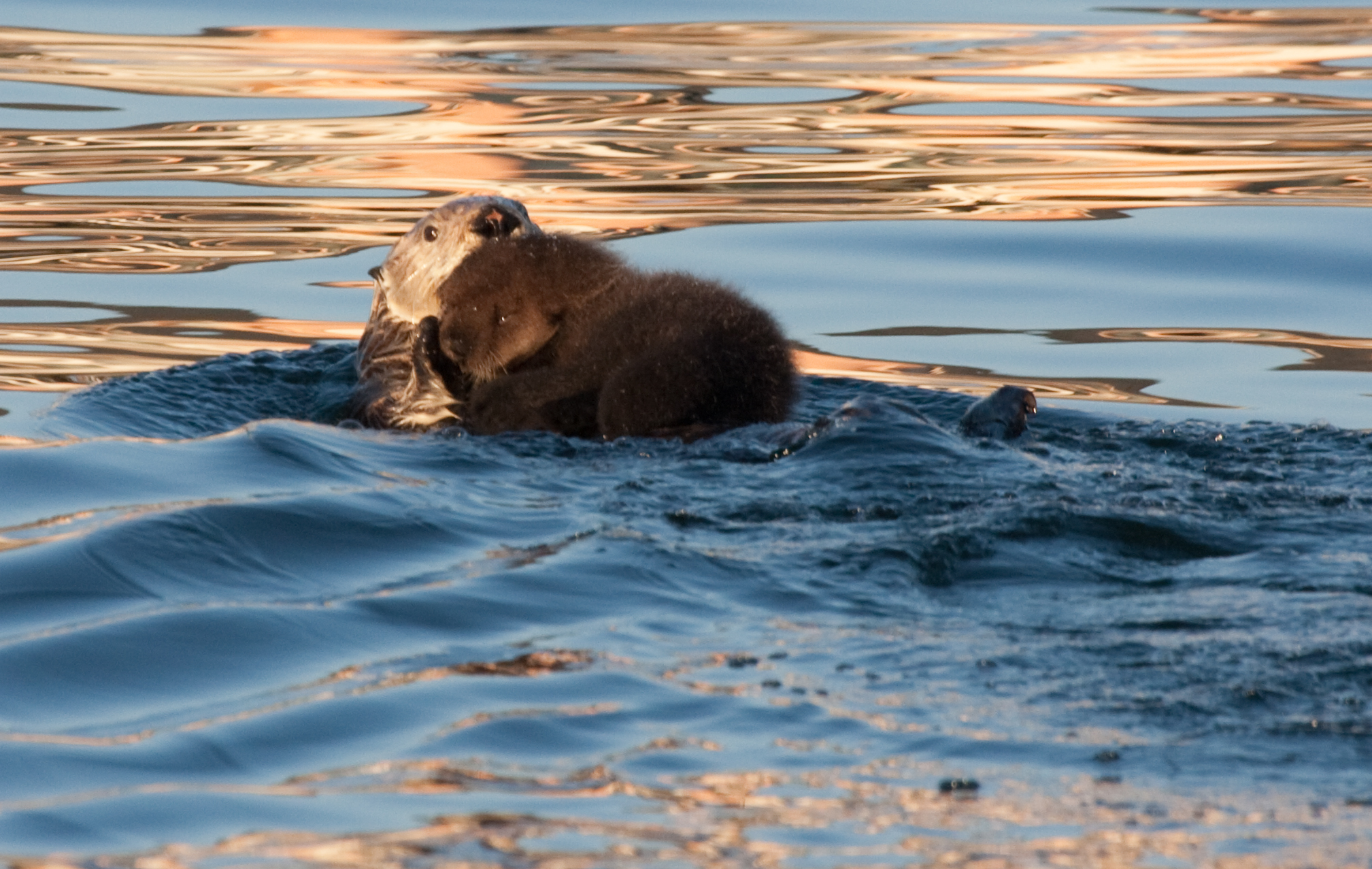 Sea Otter Mum and Pup Float Along in the Bay