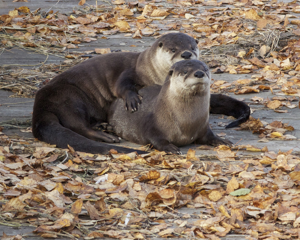 Otters Pose for a Fall Couples Portrait on the Boardwalk