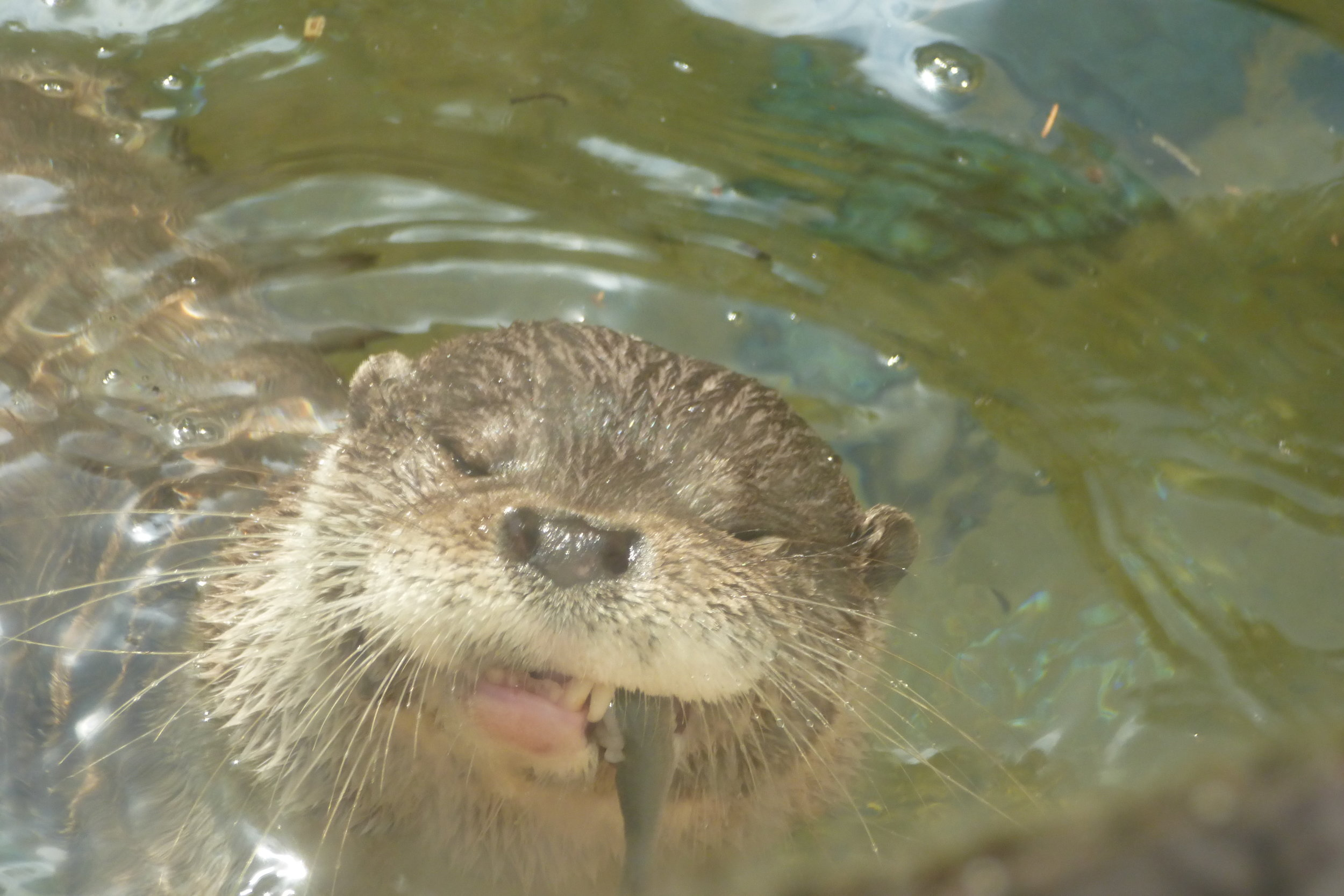Otter Delights in Chomping a Fish
