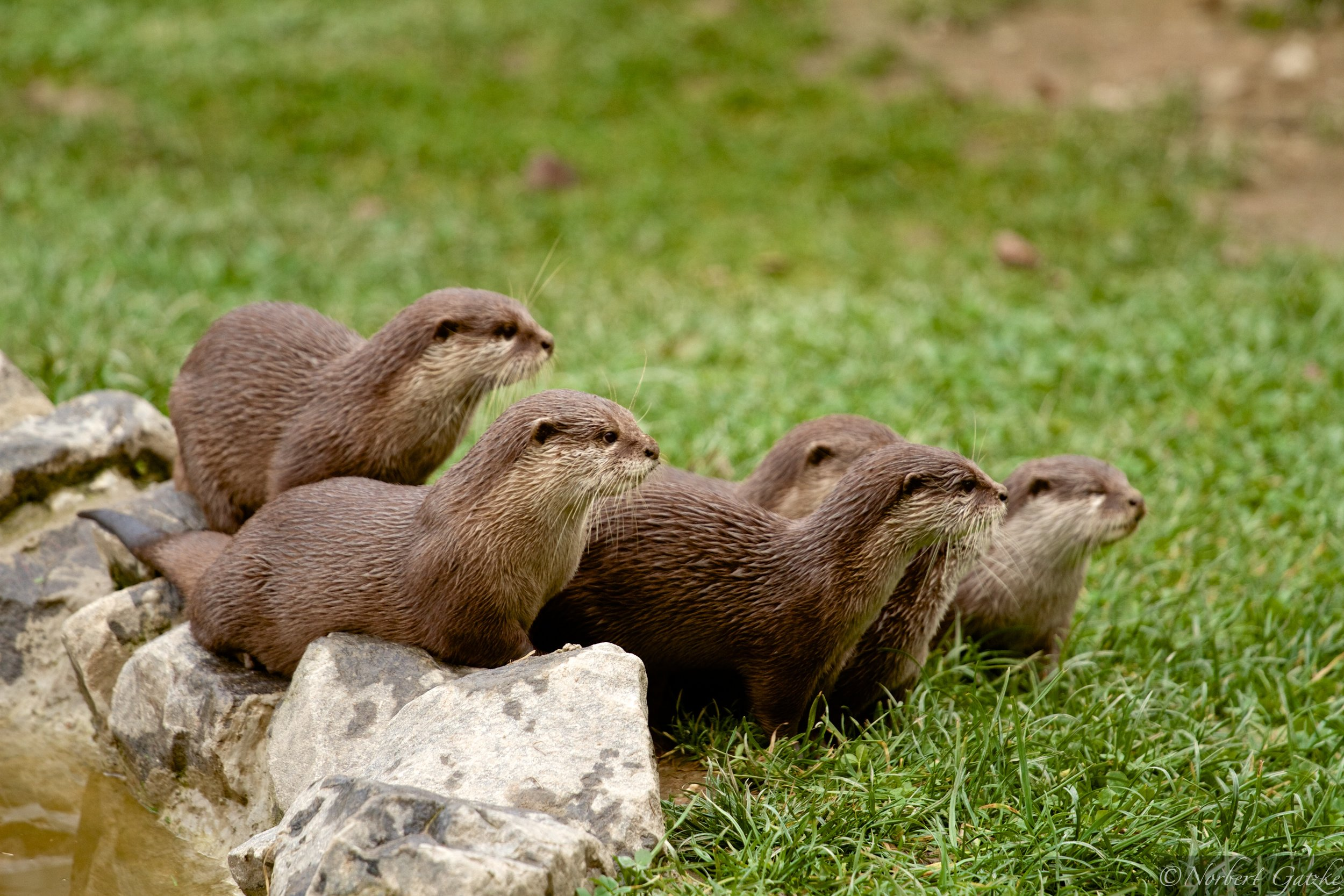Otters Are Intently Watching Something