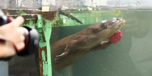 Otter Swims with a Toy on His Hand 1