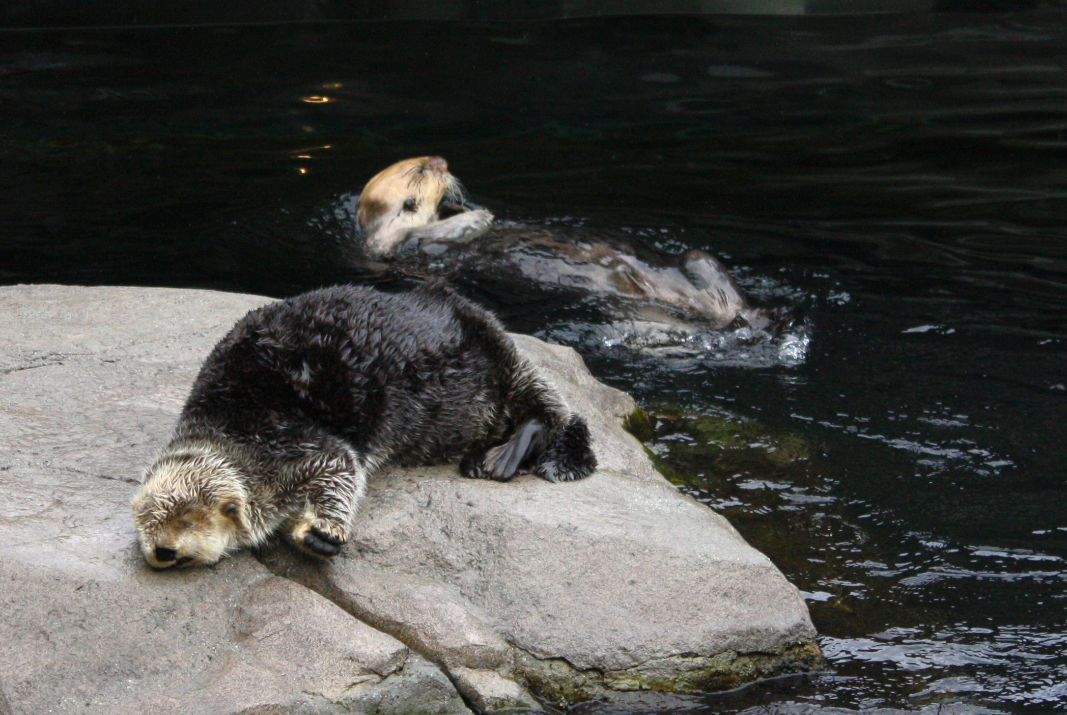 Sea Otter Is Completely Conked Out