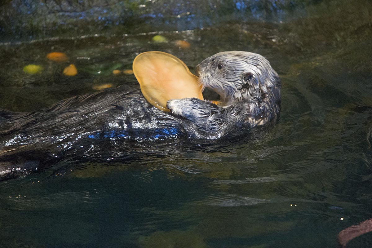 Otters at Shedd Aquarium Get Treats, Not Tricks, for Halloween 2