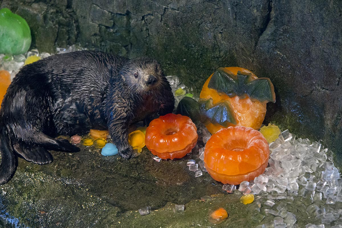 Otters at Shedd Aquarium Get Treats, Not Tricks, for Halloween 1