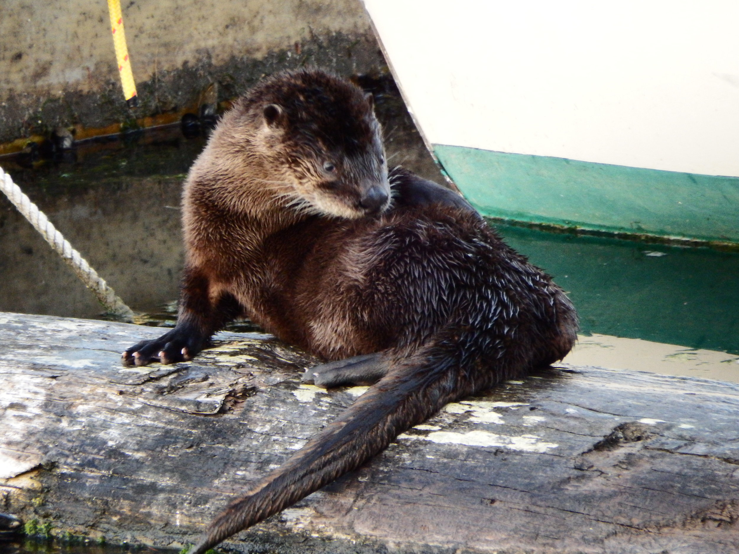 Is Otter About to Have a Great Scratch or Is His Fur Just That Interesting?