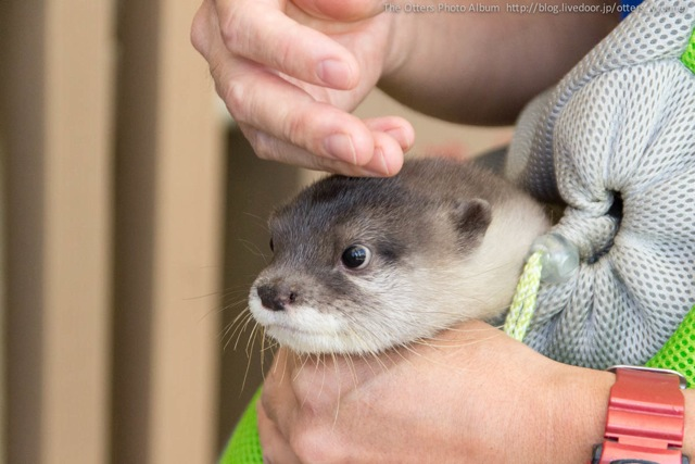 Little Otter Yamato Gets His Head Petted