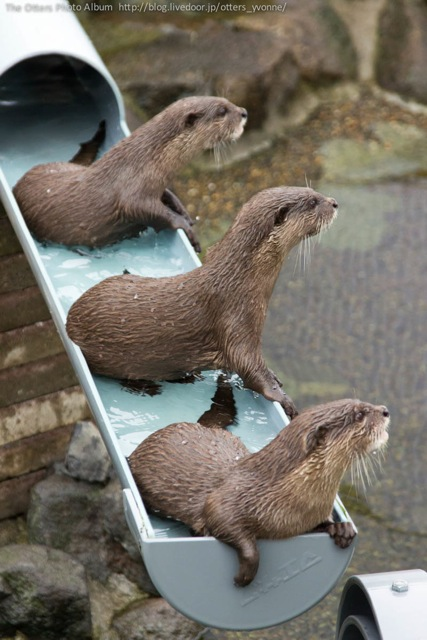 Otters Are Distracted from Their Waterslide