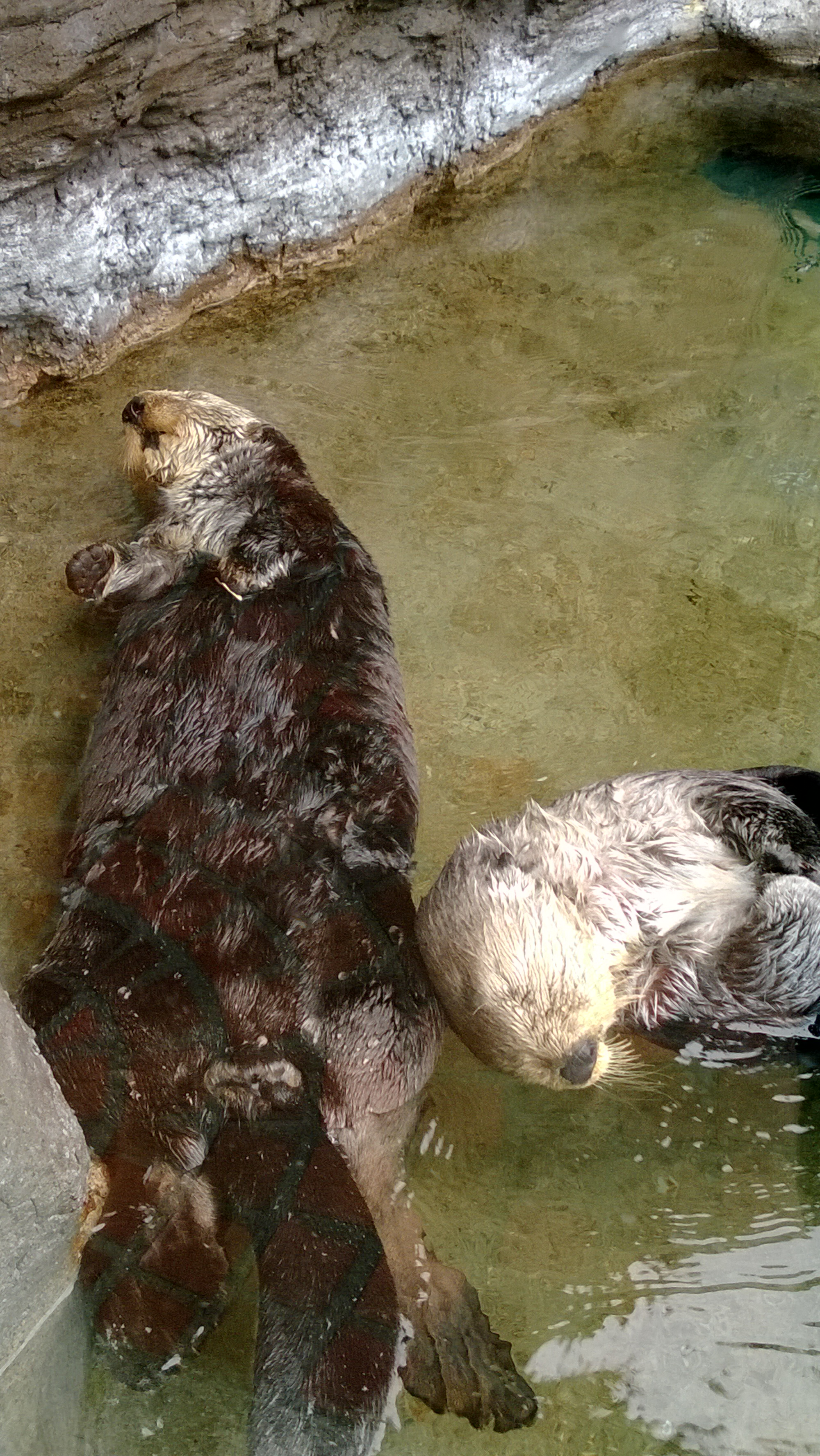 Snoozing Sea Otters Are Oblivious to Their Audience