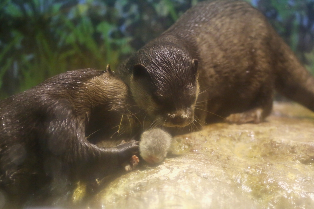 Otter Parents Dote On Their Newborn Pup 2