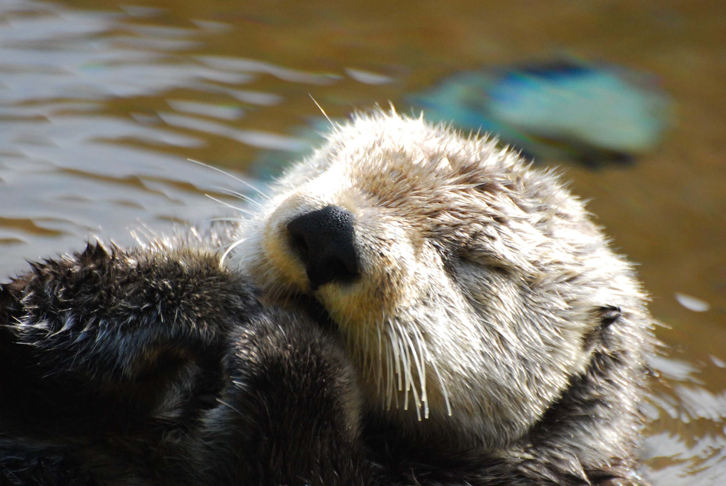 Sea Otter Naps with Her Paws Curled Up to Her Chin