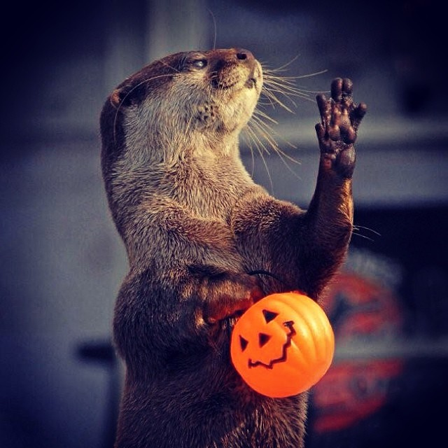 Trick-or-Treating Otter Is Not Happy the Treats Have Run Out
