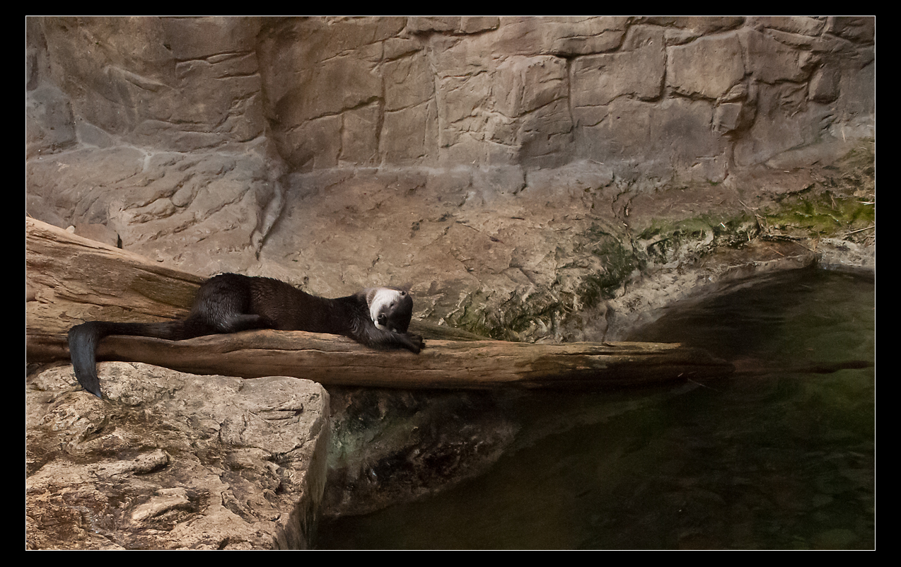 Otter Uses His Arms for a Pillow During a Nap on a Log