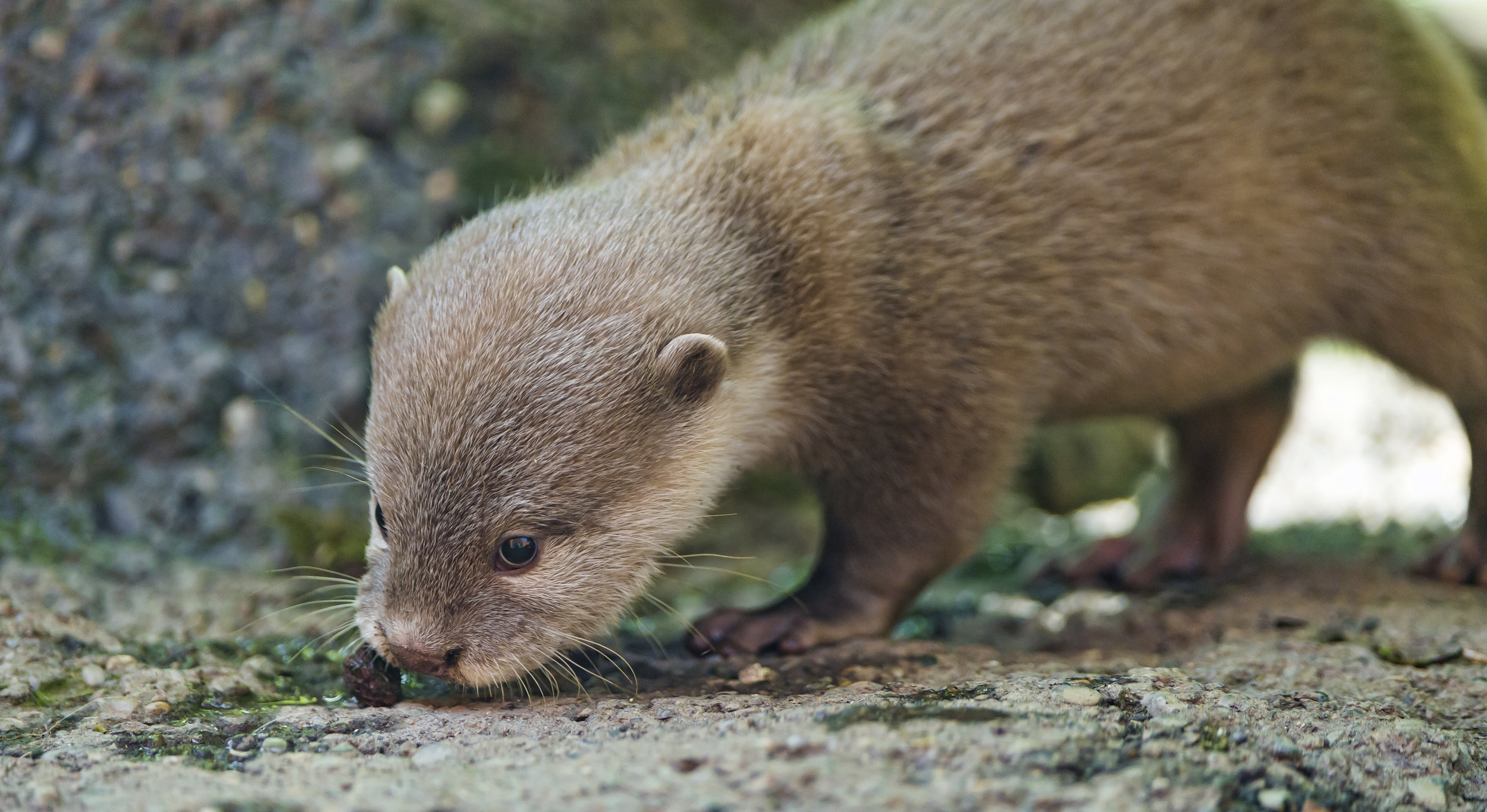 Otter Pup Sniffs at Something on the Ground