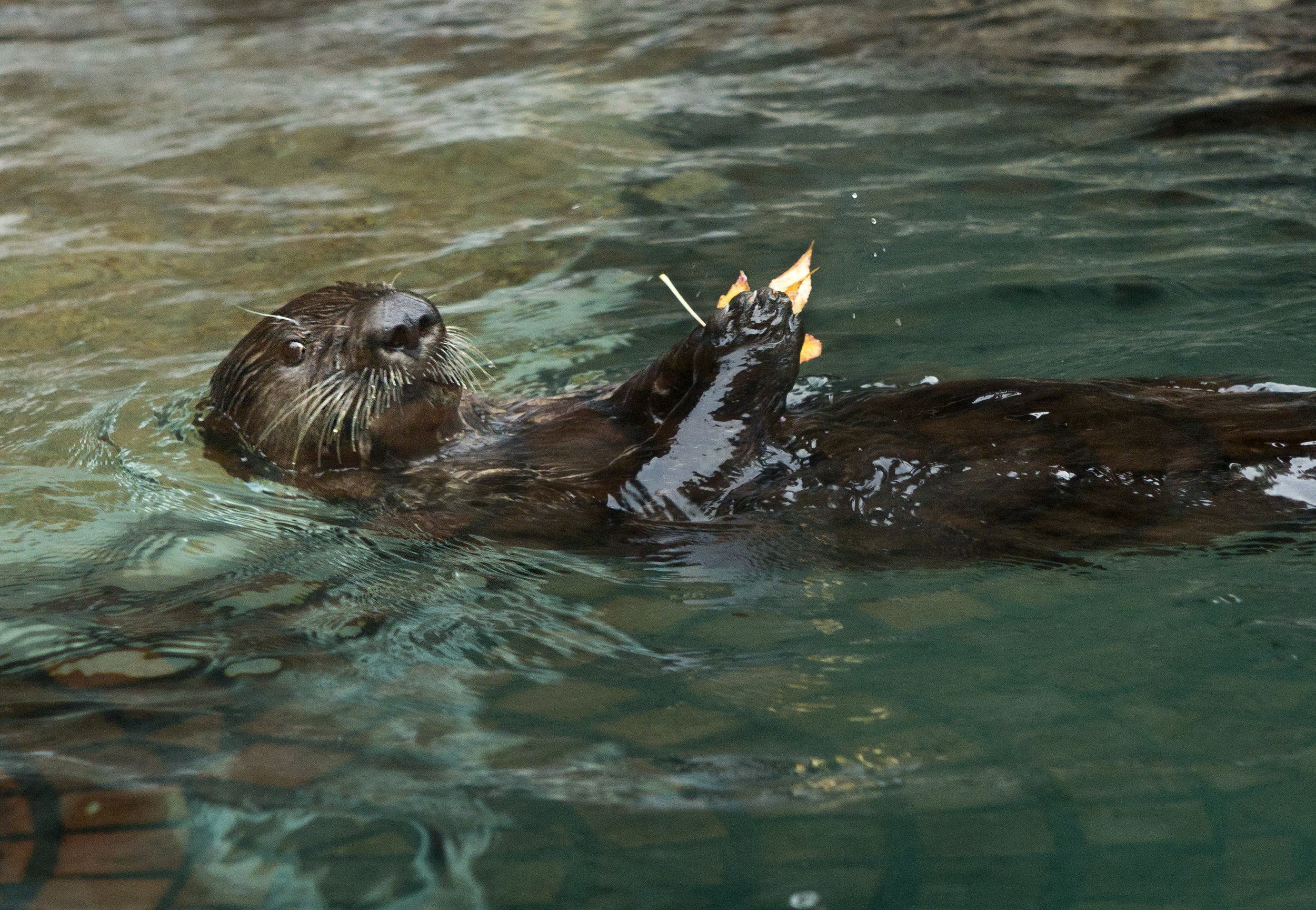 Sea Otter Sekiu Plays with a Fallen Leaf at the Seattle Aquarium