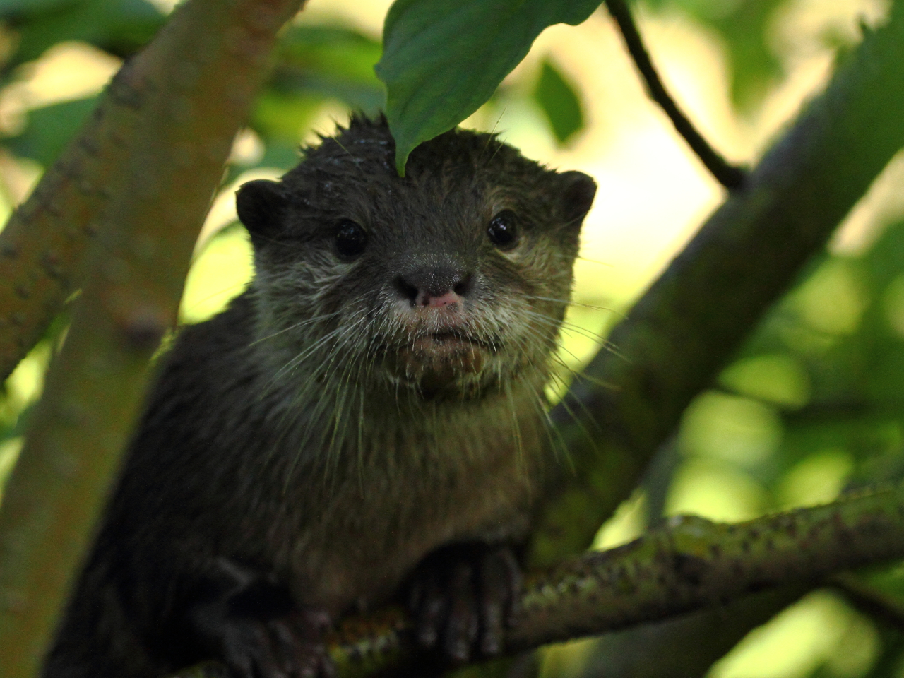 Otter Poses for a Portrait in a Tree