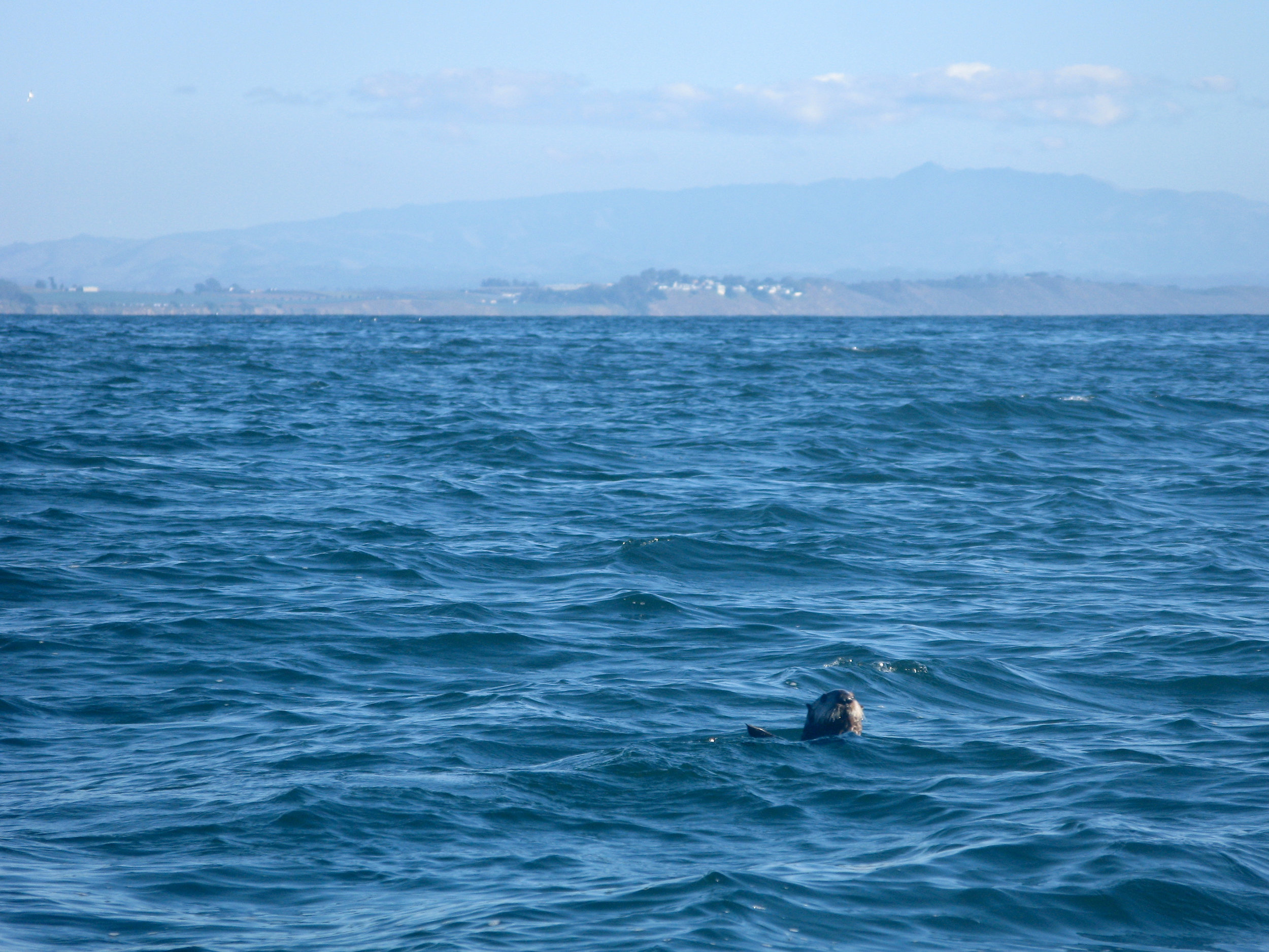 Sea Otter Floats Along in the Bay