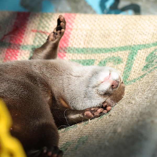Otter Sunbathes and Naps on His Hammock 2