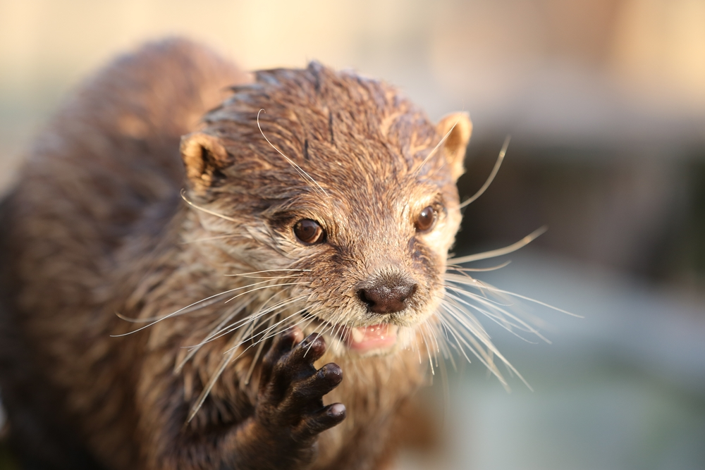 Actor Otter Can Look Cheerful, Then Quickly Turn Pensive 1