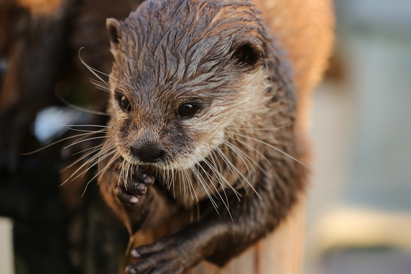 Actor Otter Can Look Cheerful, Then Quickly Turn Pensive 2