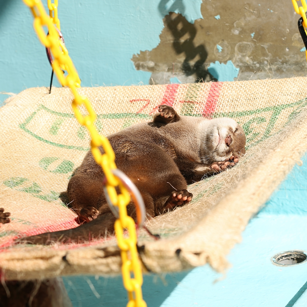 Otter Sunbathes and Naps on His Hammock 1