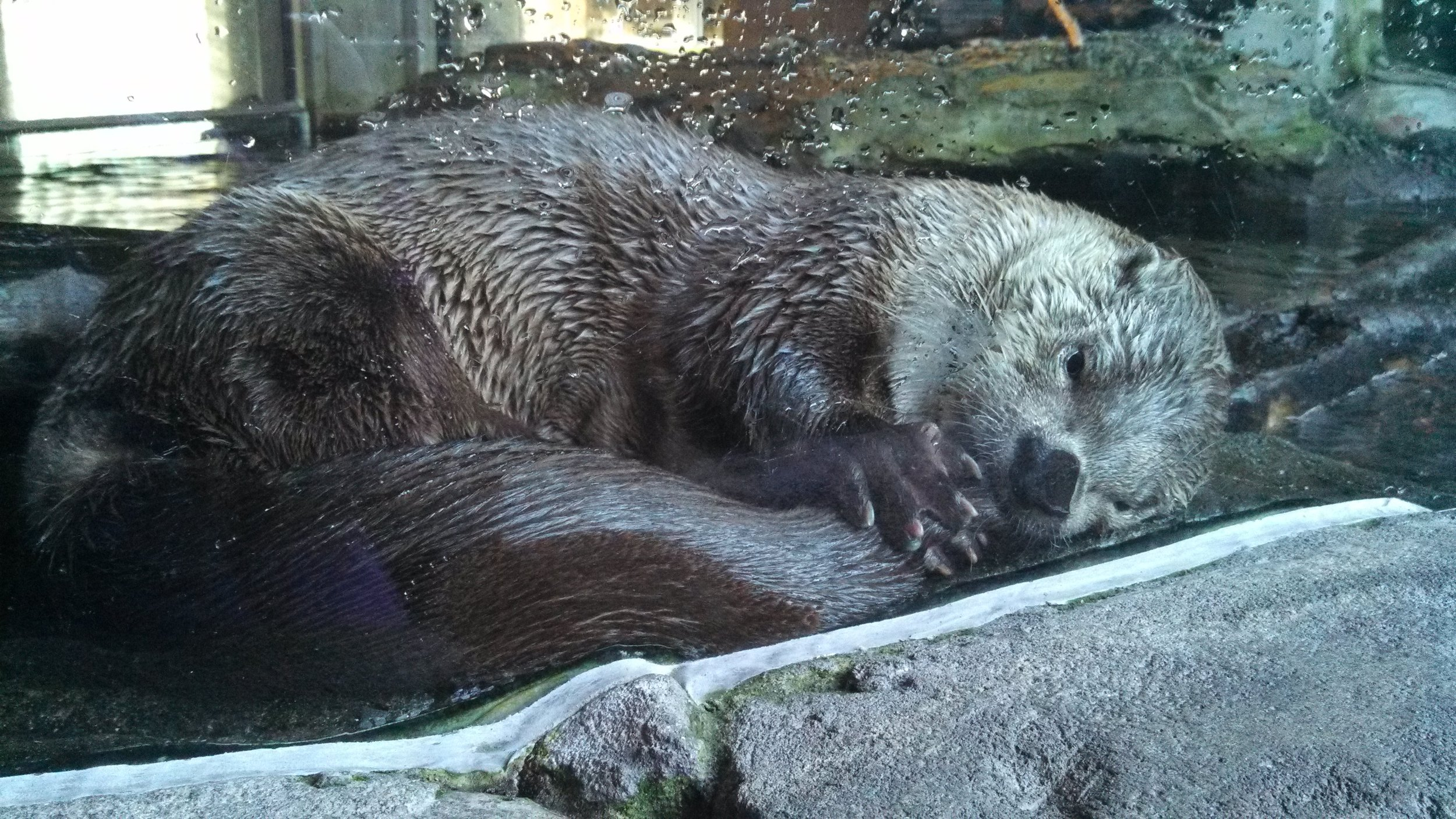 Otter Sucks His Tail Just Before Falling Asleep for a Nap