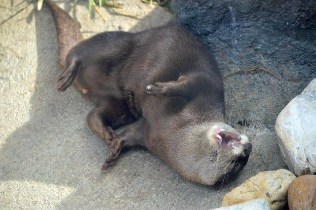 Otter Rolls on the Floor Laughing