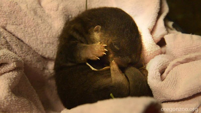 More on the Oregon Zoo's Newborn Otter Pup! 3