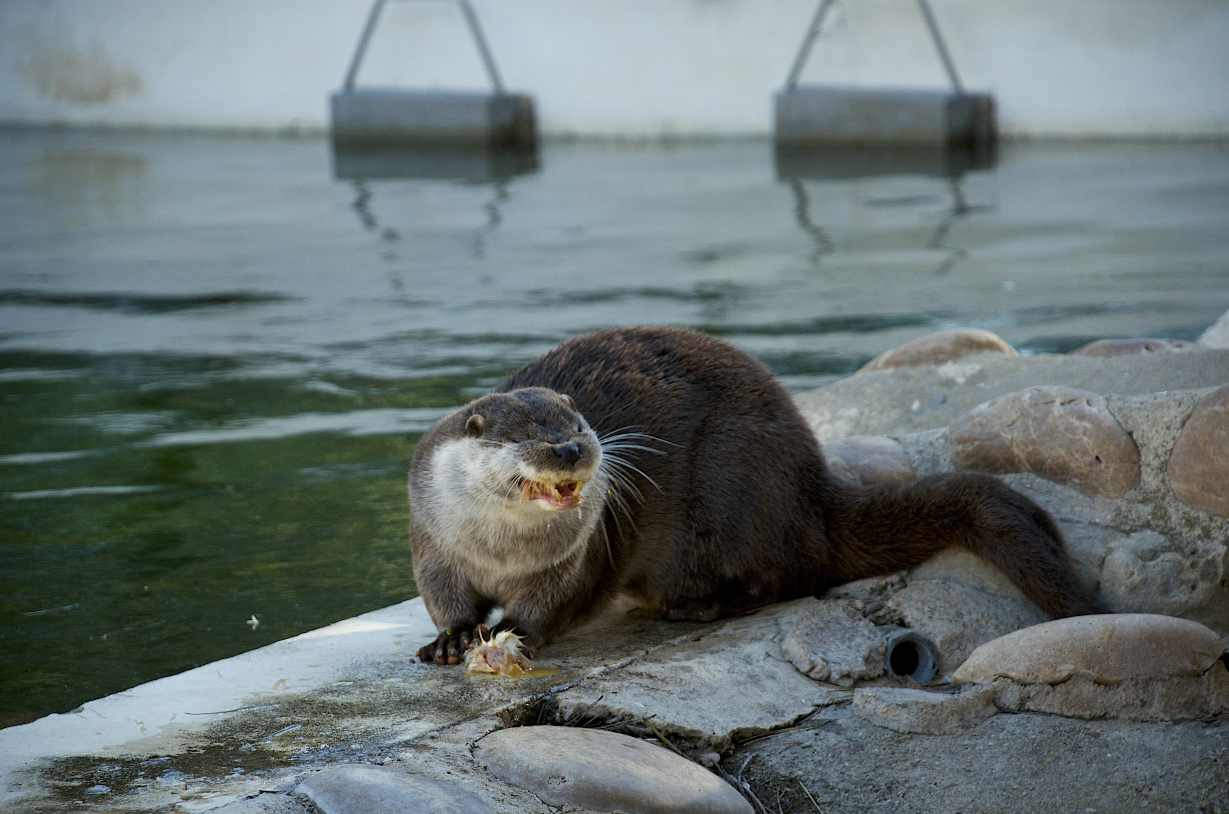 Otter Concentrates Very Hard on Nomming His Food 1