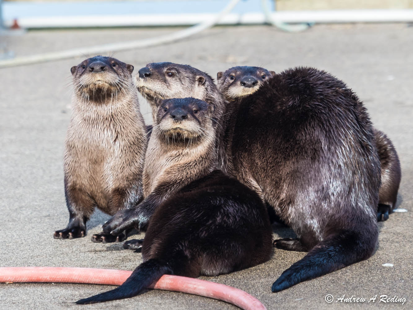 Otter Gang Says You've Wandered onto the Wrong Dock