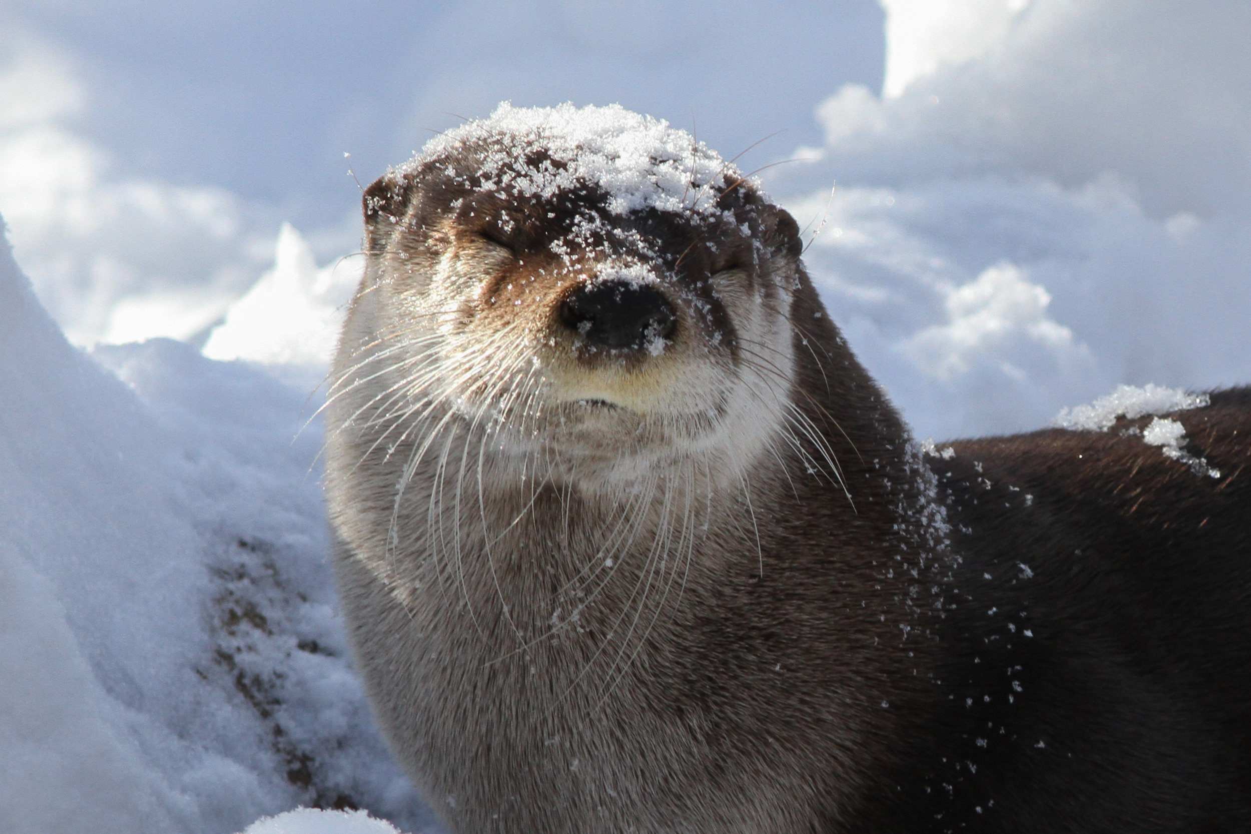 Good-Natured Otter Doesn't Mind a Little Snow on Her Head