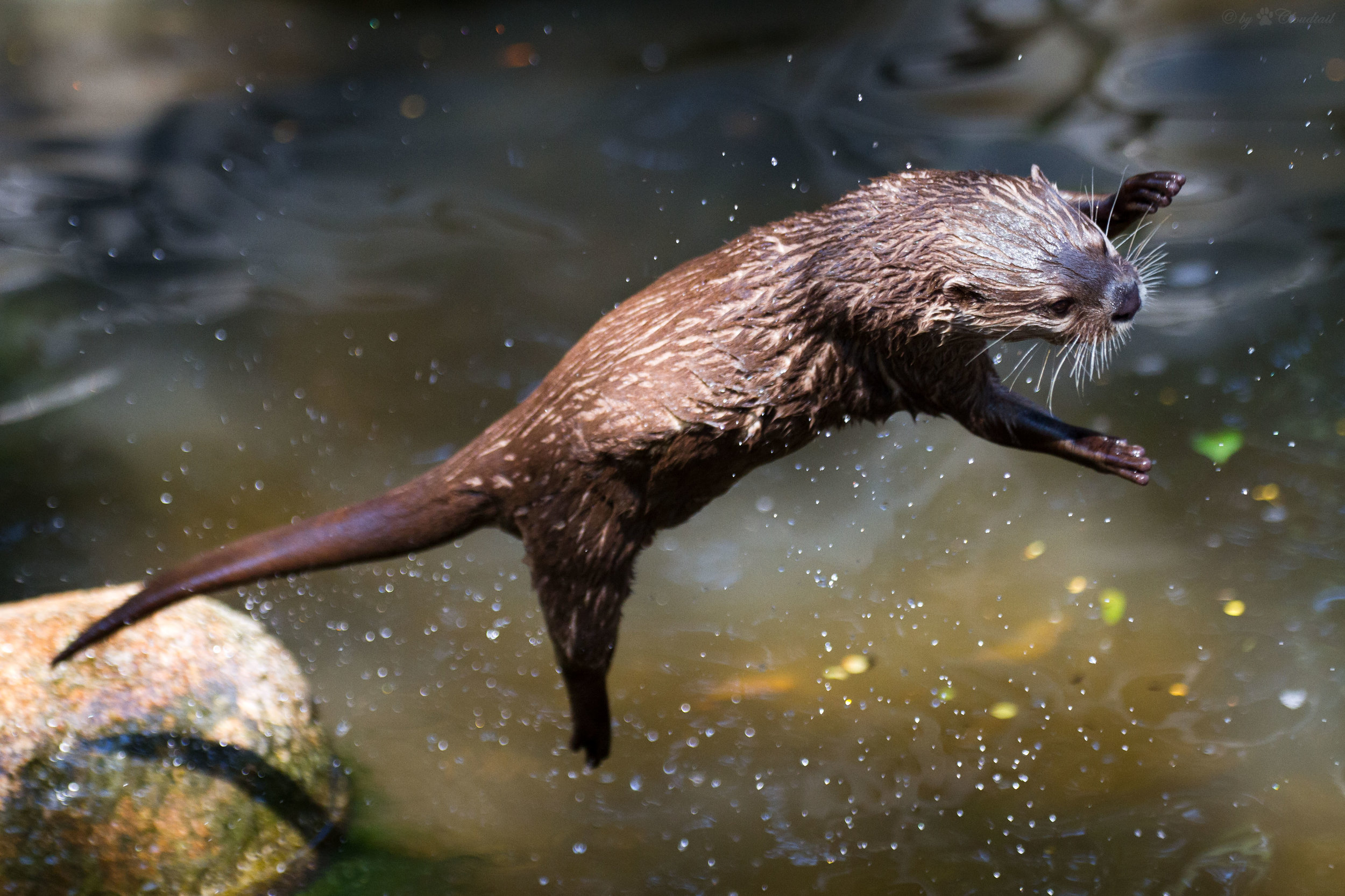 Otter Takes a Flying Leap to Catch a Treat