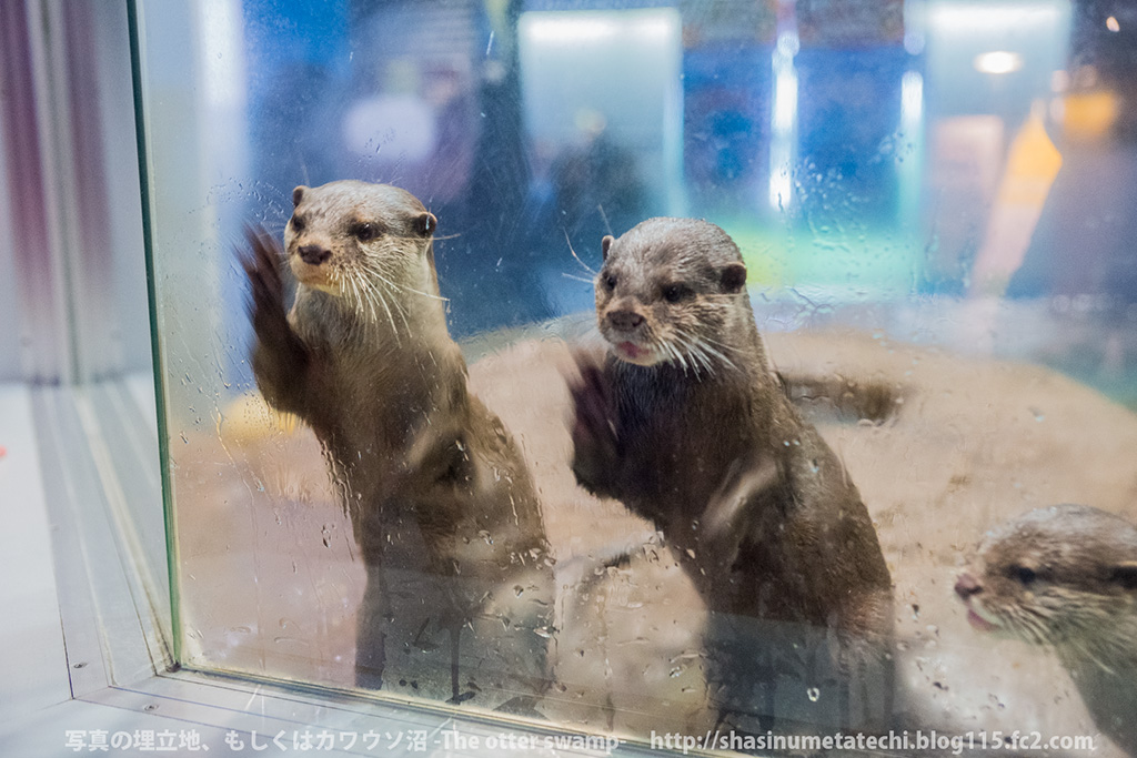 Otters See a Bucket of Fishy Treats Waiting for Them 2