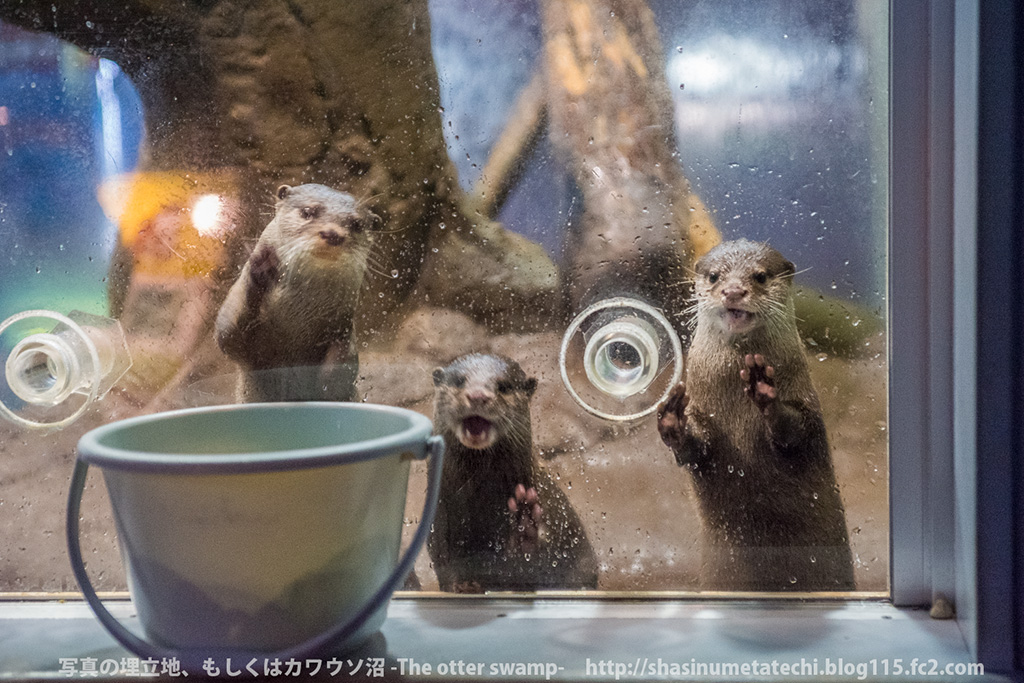 Otters See a Bucket of Fishy Treats Waiting for Them 1