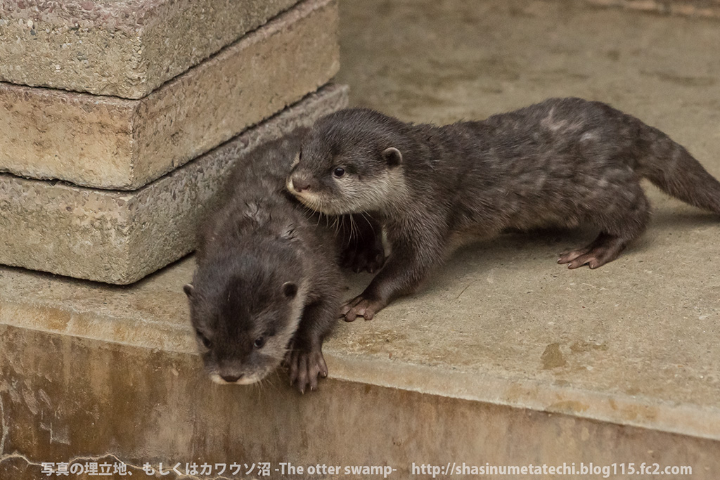 Mother Otter Keeps Her Pups Away from Mischief and Carries Them Back to the Den 1