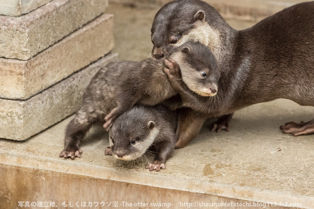Mother Otter Keeps Her Pups Away from Mischief and Carries Them Back to the Den 4