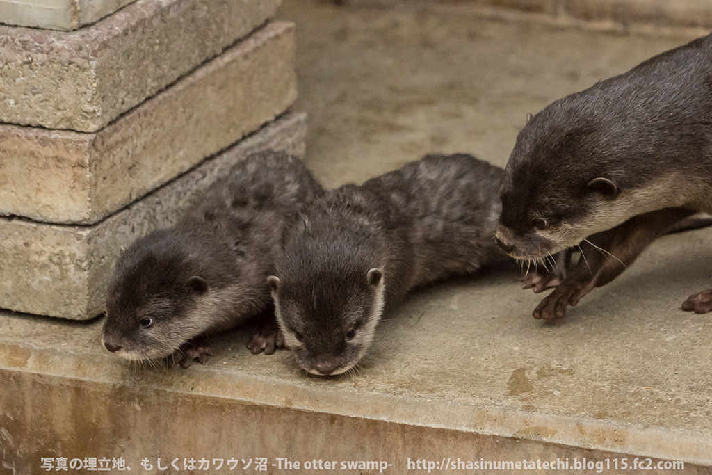 Mother Otter Keeps Her Pups Away from Mischief and Carries Them Back to the Den 2
