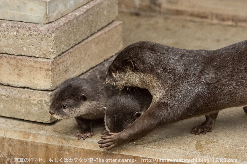 Mother Otter Keeps Her Pups Away from Mischief and Carries Them Back to the Den 3