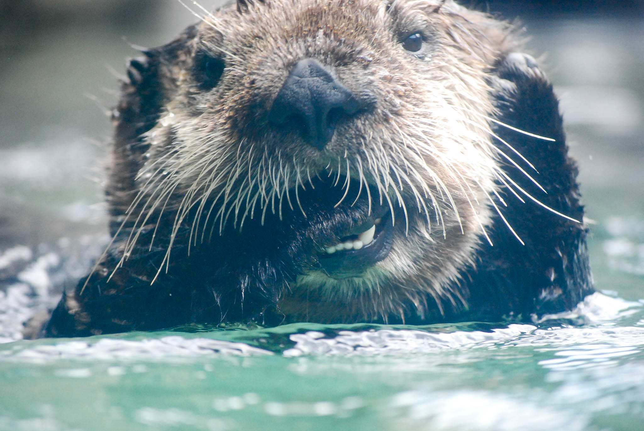Closeup of Cute Sea Otter Being Cute