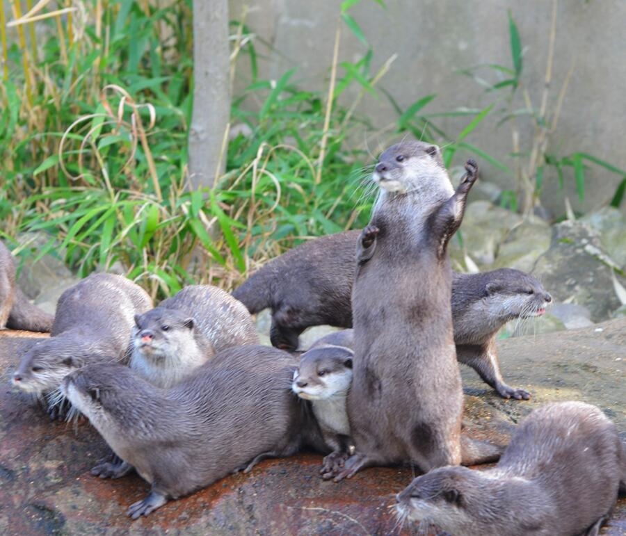 Otter Plays the Air Guitar