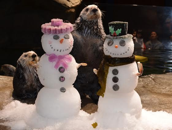Otters at Georgia Aquarium Open Presents and Make Snowman Friends 2