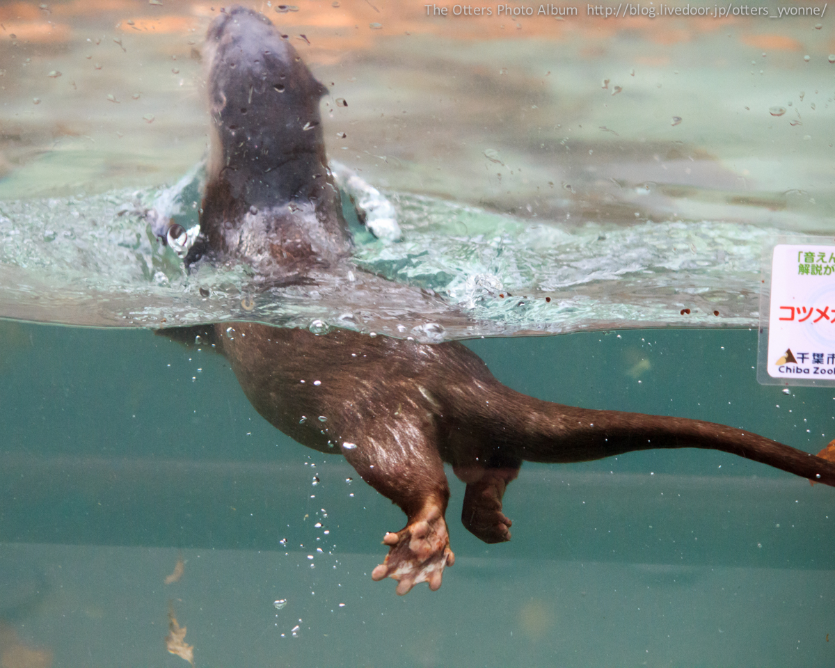 Otter Uses the Display Glass to Kick Off into the Water