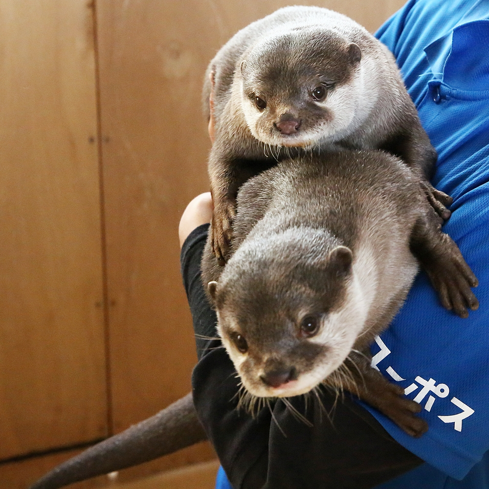 It's Hard Holding Two Squirmy Otters