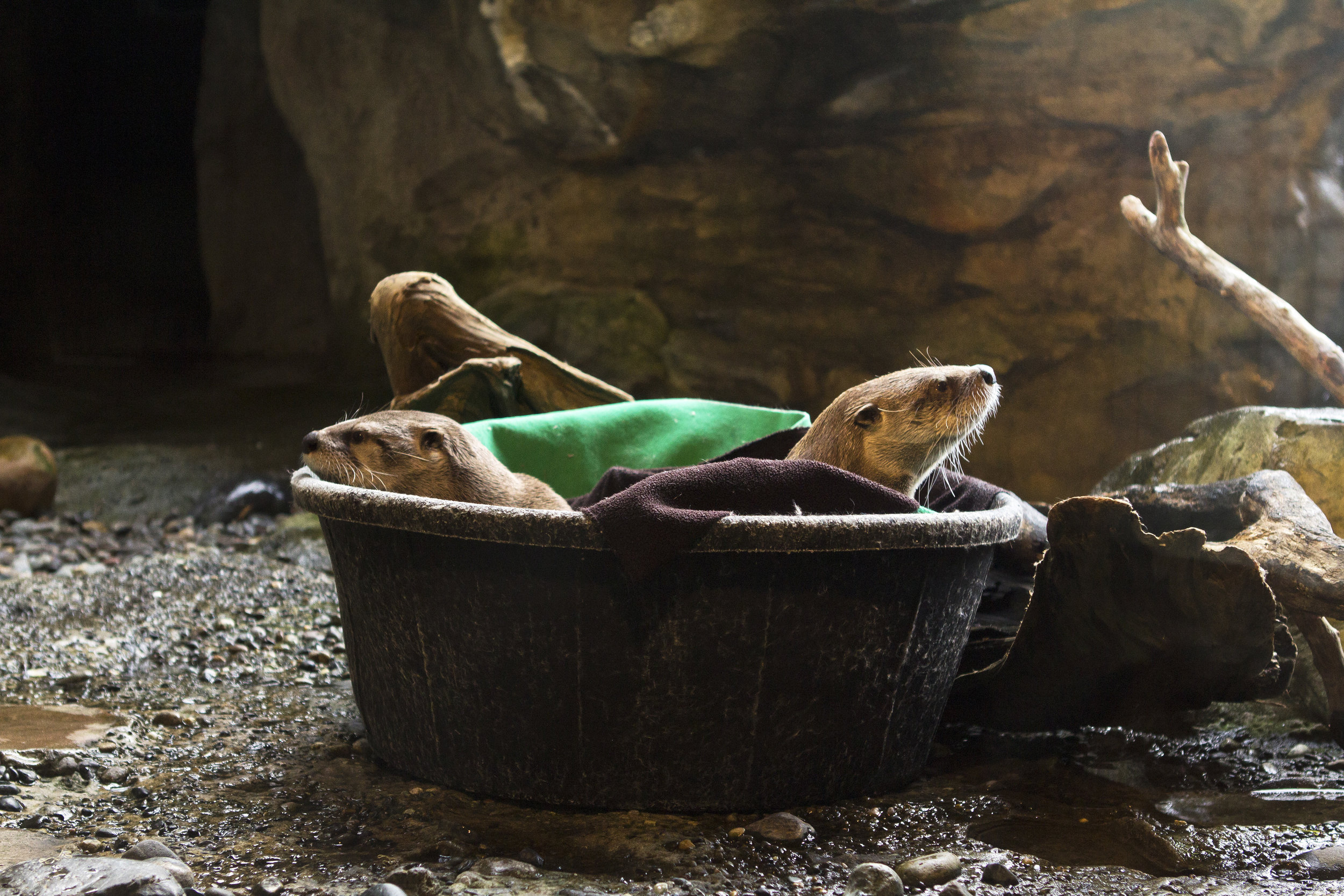 Otters Warm Up in a Bucket Filled with Fleece Blankets