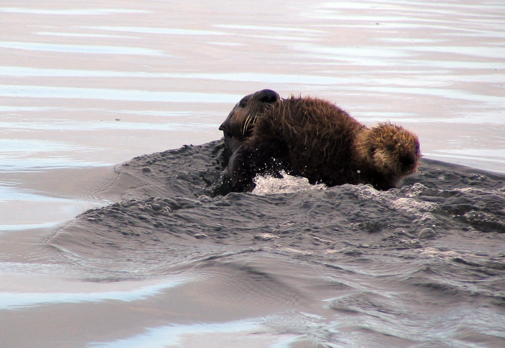 Mother Sea Otter Pushes through the Water Carrying Precious Cargo