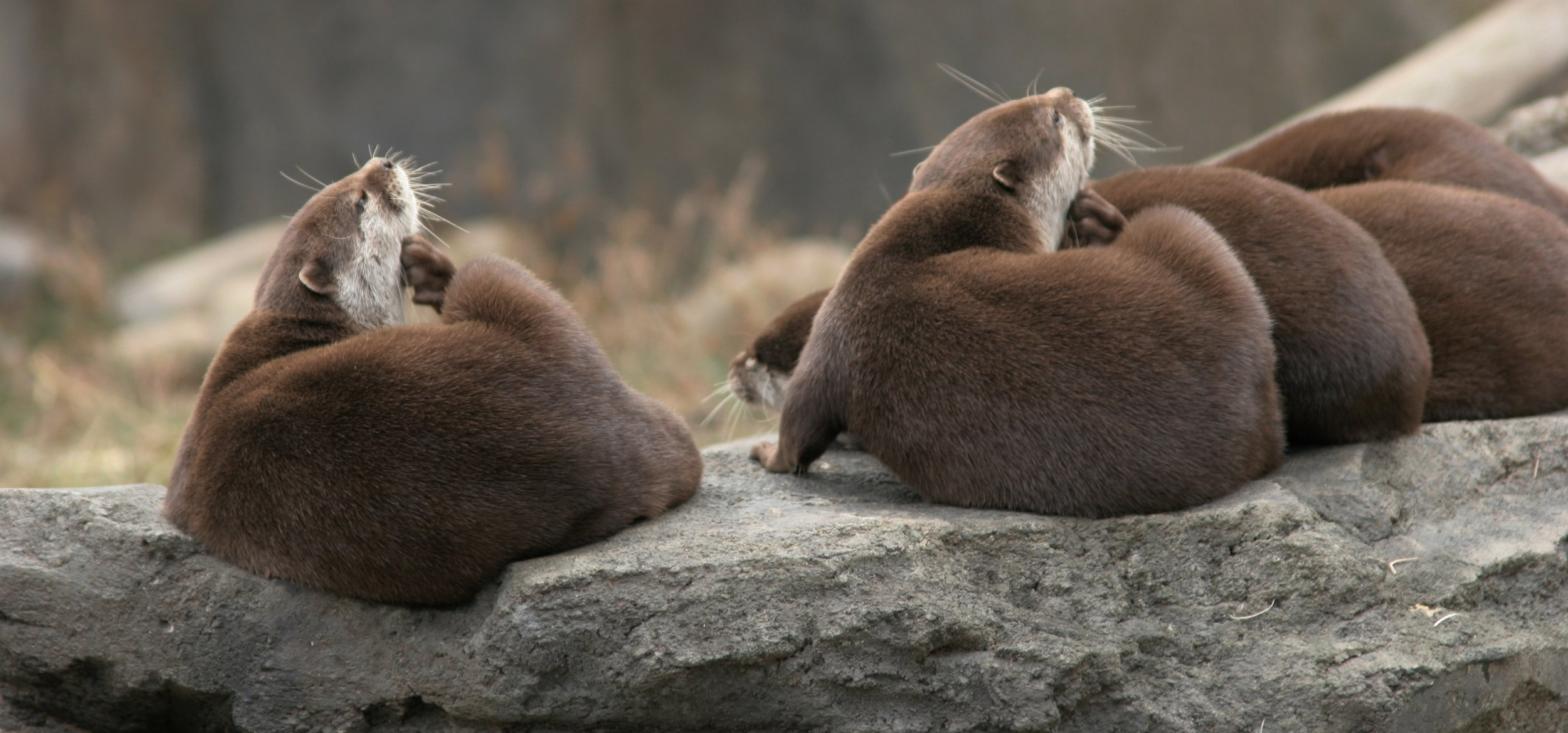These Otters Are Synchronized Scratchers