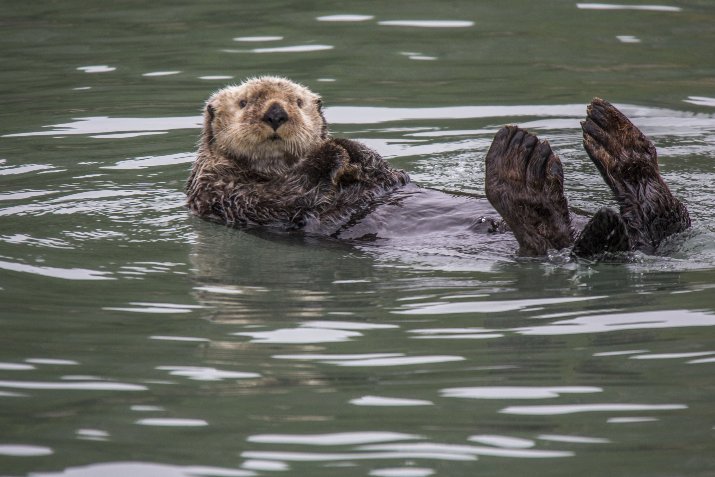 Sea Otter Is Just Floating About His Day