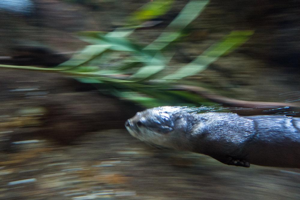 Return of the Otter Torpedo!