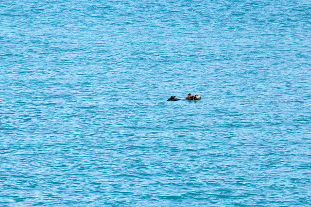 Mother Sea Otter and Pup Float Along in the Wide, Wide Sea