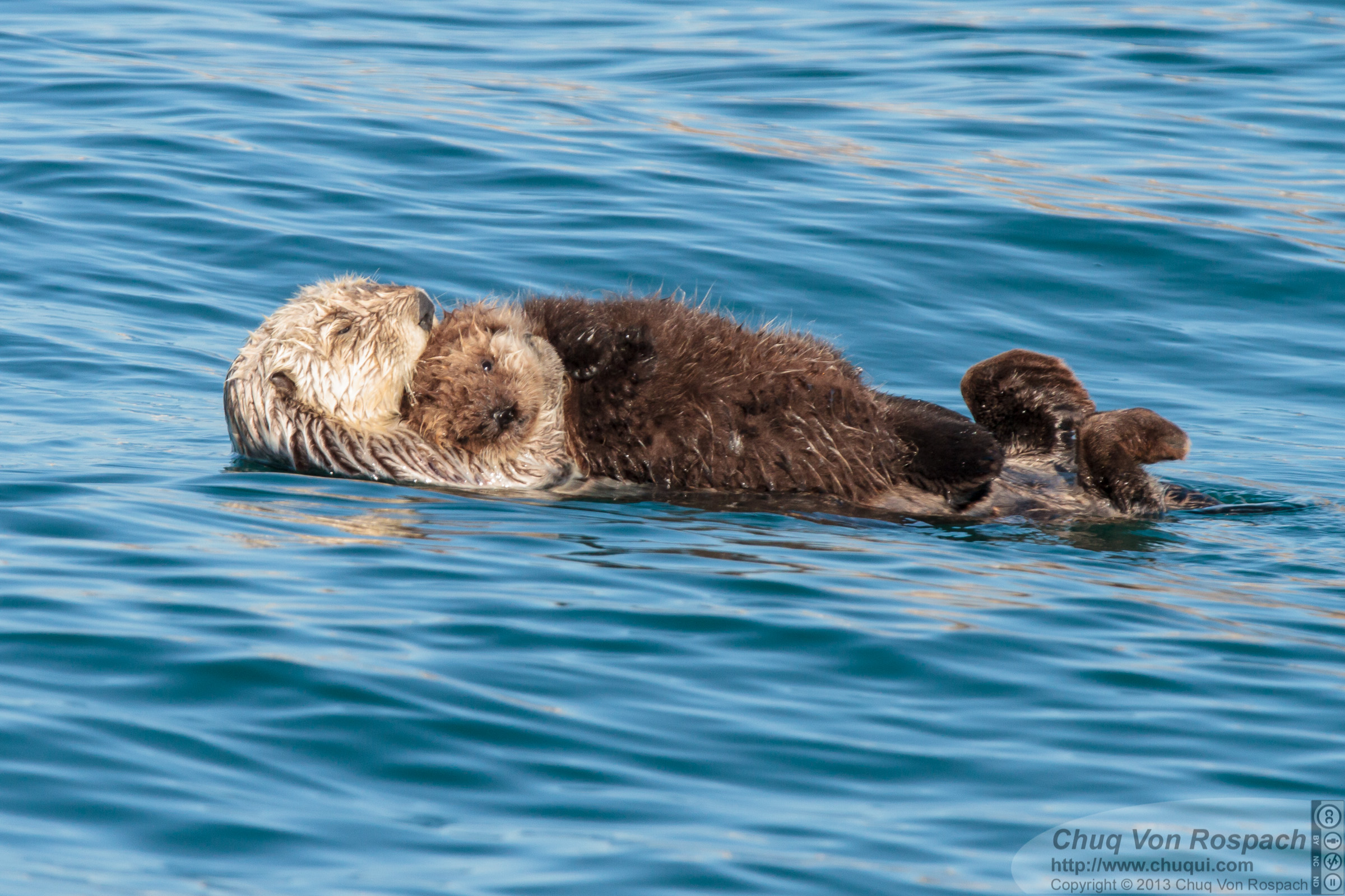 Sea Otter Mother Holds Her Pup Close
