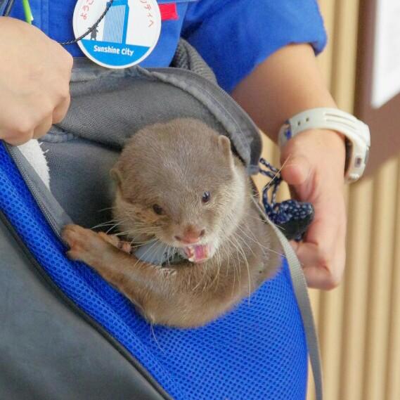 Little Otter Haku Chews on Her Carrier